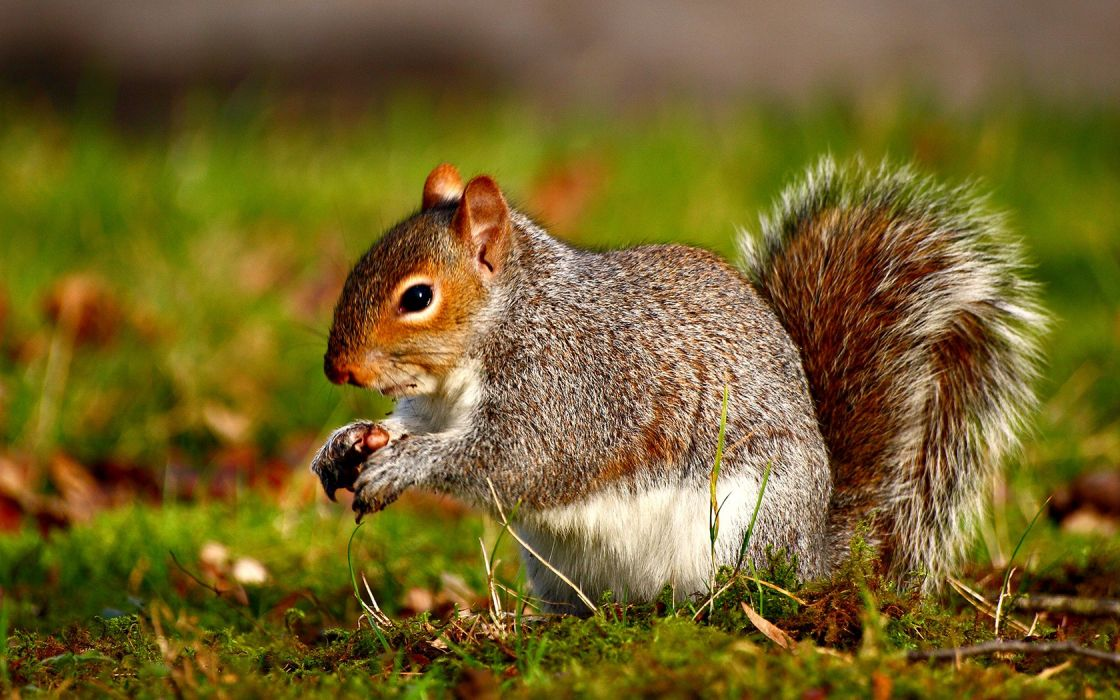 animals squirrel nutlet cute forest wallpaper