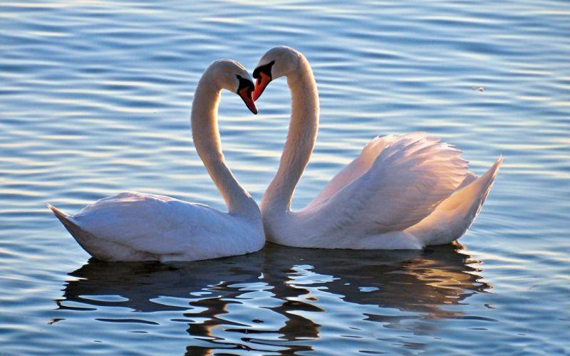 animals birds Swans swan love feelings mood heart wallpaper