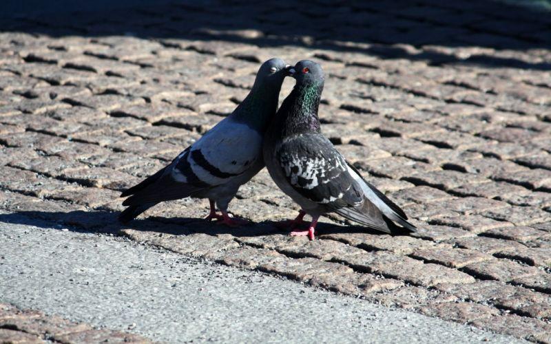 Pigeons love kiss romance world wallpaper