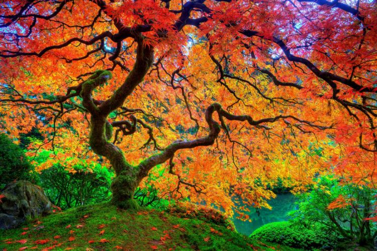 maple leaf tree Japanese autumn season natural beauty hd uhd ultrahd 4k wallpaper wallpaper