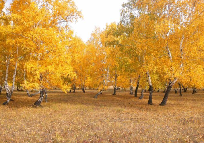 forest autumn nature landscape birch wallpaper