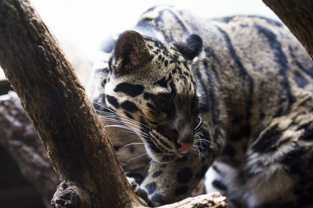 clouded leopard wild cat carnivore muzzle light wallpaper