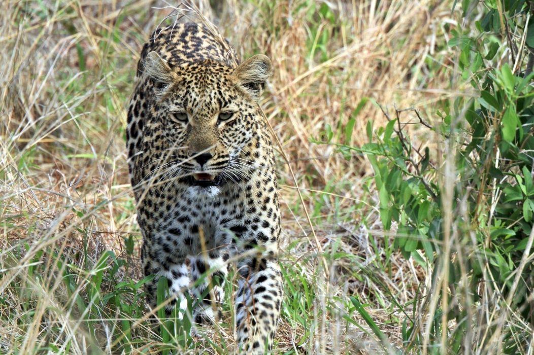 leopard wild cat carnivore muzzle bushes shrubs walk wallpaper