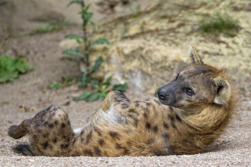 hyena predator snout lies rest posture wallpaper