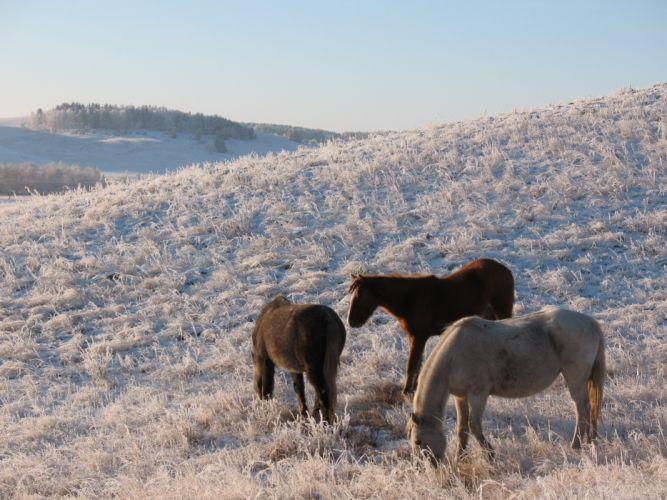 horse horses animal winter steppe Kazakhstan frost grazing zhailau Kokshetau cop Bajterek wallpaper