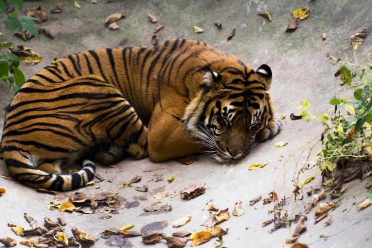 tiger wild cat predator stripes lying rest sleep wallpaper