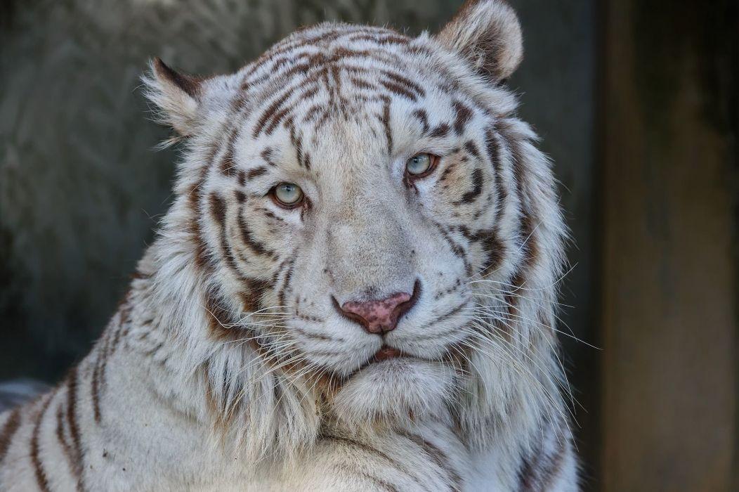 white tiger tiger wild cat predator face portrait wallpaper
