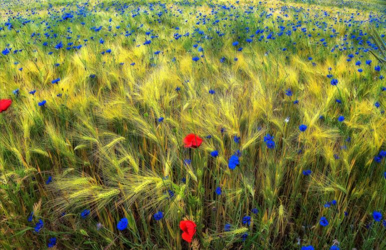 Poppies cornflowers field ears nature wallpaper