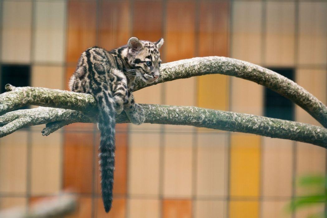 clouded leopard wild cat predator young zoo wallpaper