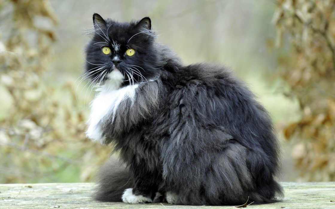 cat furry sits wallpaper