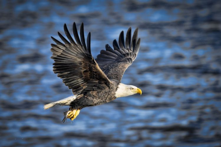 eagle bird predator wings flying fishing fish extraction spray e wallpaper
