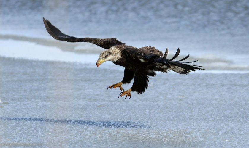 eagle bird predator wings flight wallpaper