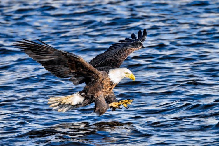 eagle bird predator wings flying fishing fish extraction spray r wallpaper