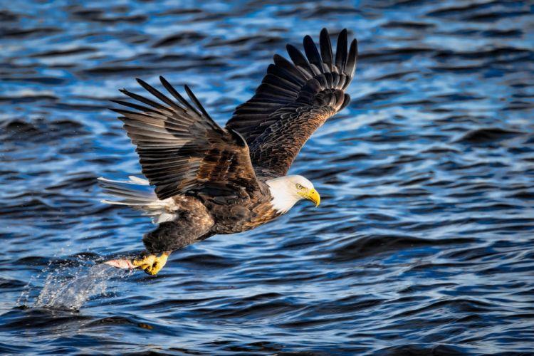 eagle bird predator wings flying fishing fish extraction spray f wallpaper