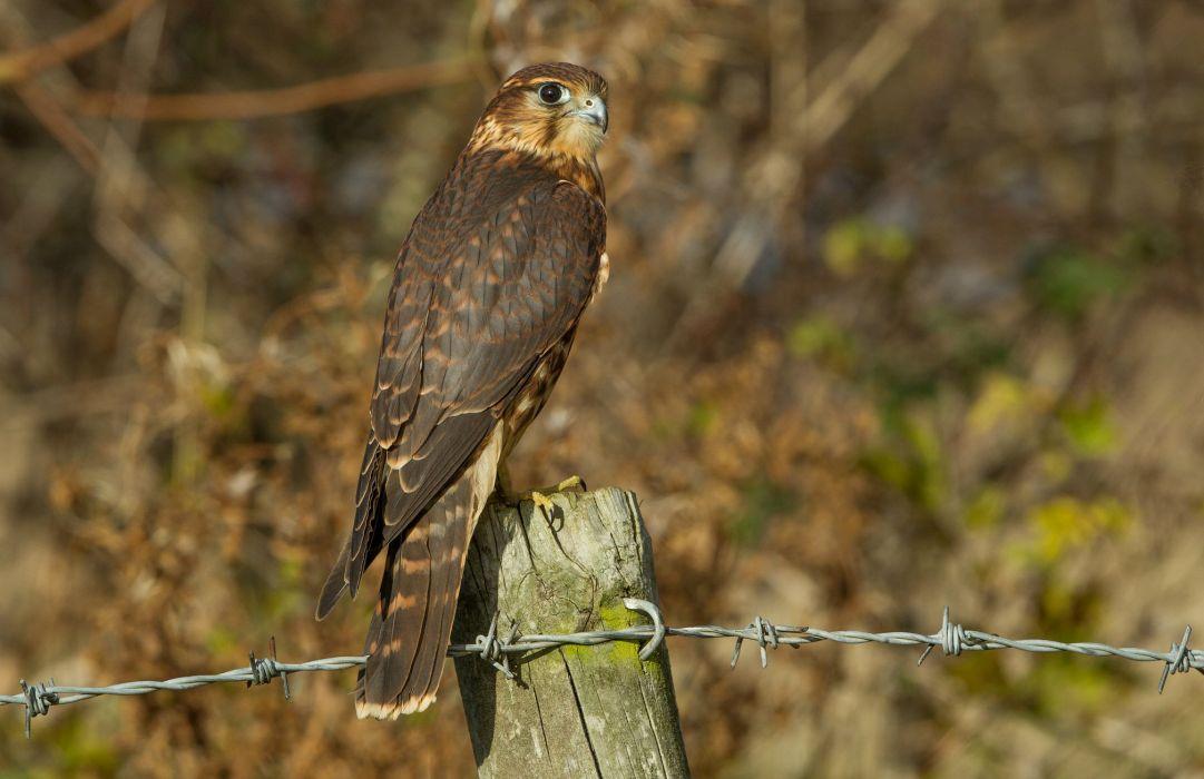 falcon bird view profile wallpaper