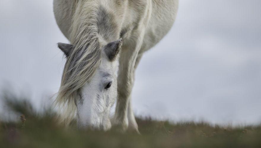 horse muzzle mane forelock pasture wallpaper