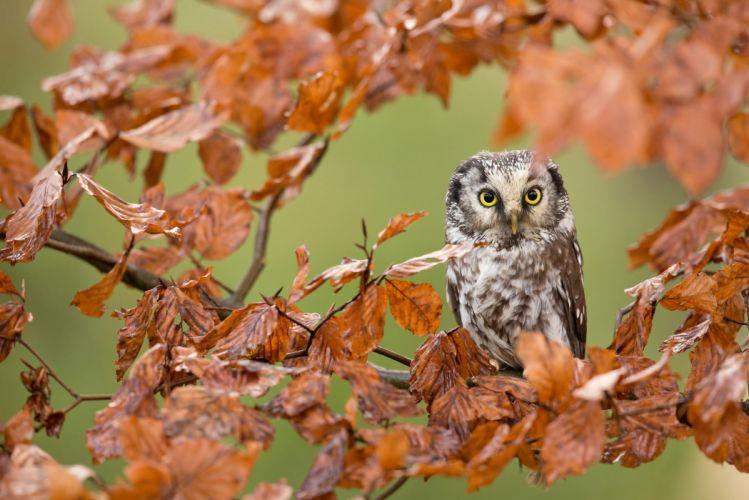 leaves bird forest autumn owl branch wallpaper