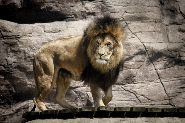 lion wild cat predator mane zoo wallpaper