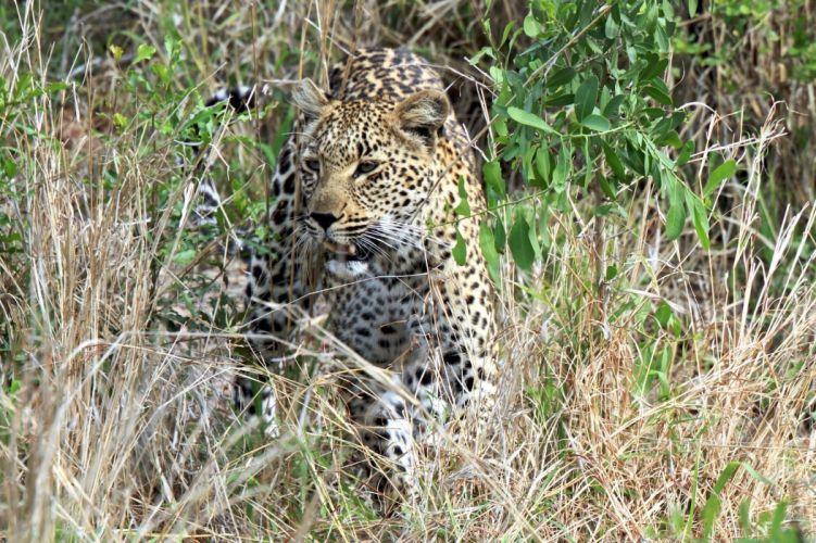 leopard wild cat carnivore muzzle thickets kustarnikt wallpaper
