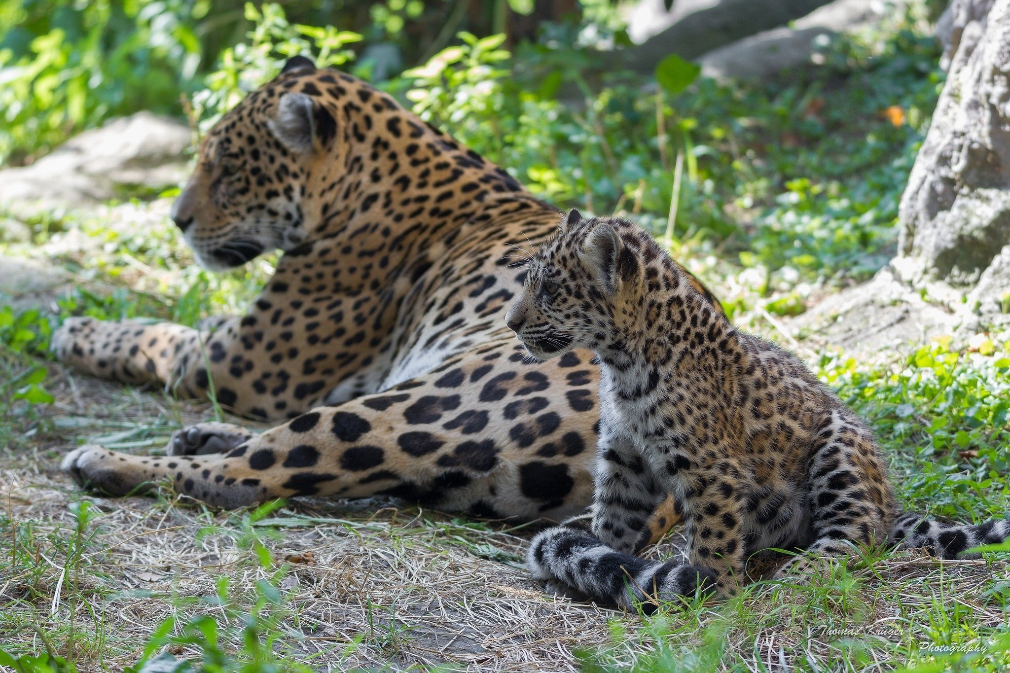 Baby jaguars and mom