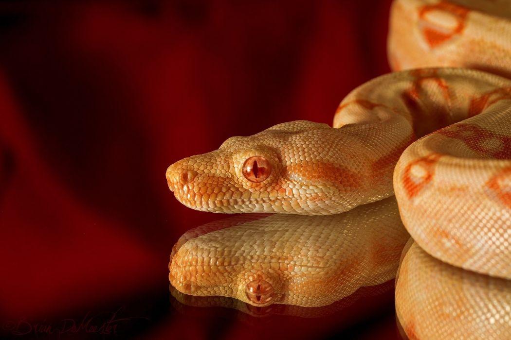snake albino reptile head reflection red wallpaper