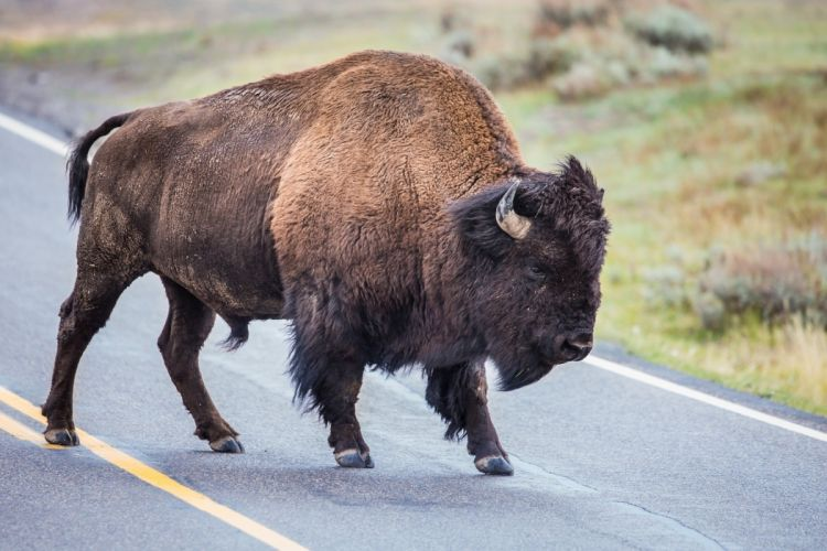 bison road horns wallpaper