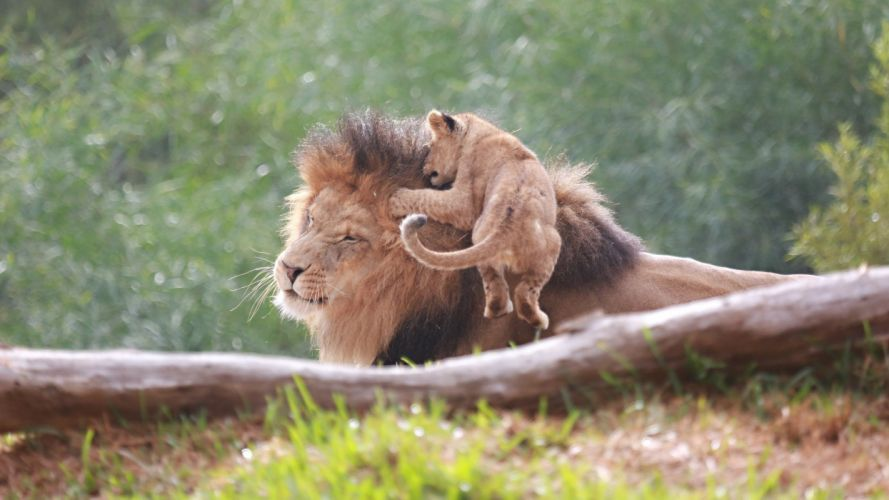 lion cub baby wallpaper