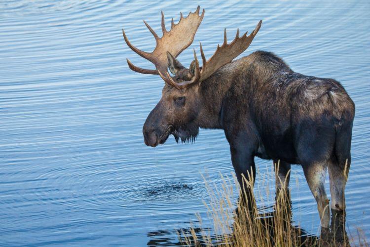 moose deer wallpaper
