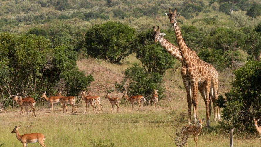 animal giraffe wild wallpaper