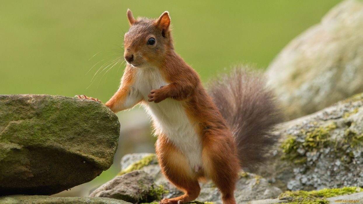 squirrel animal cute wild wallpaper