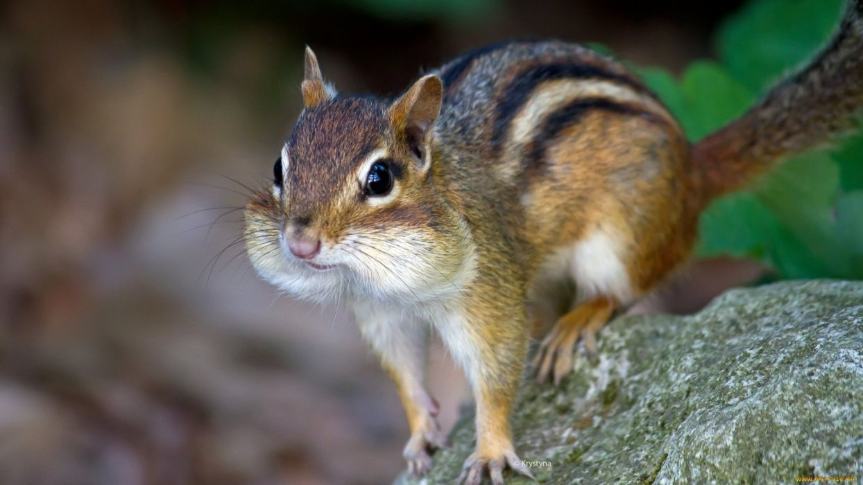 squirrel animal cute wallpaper