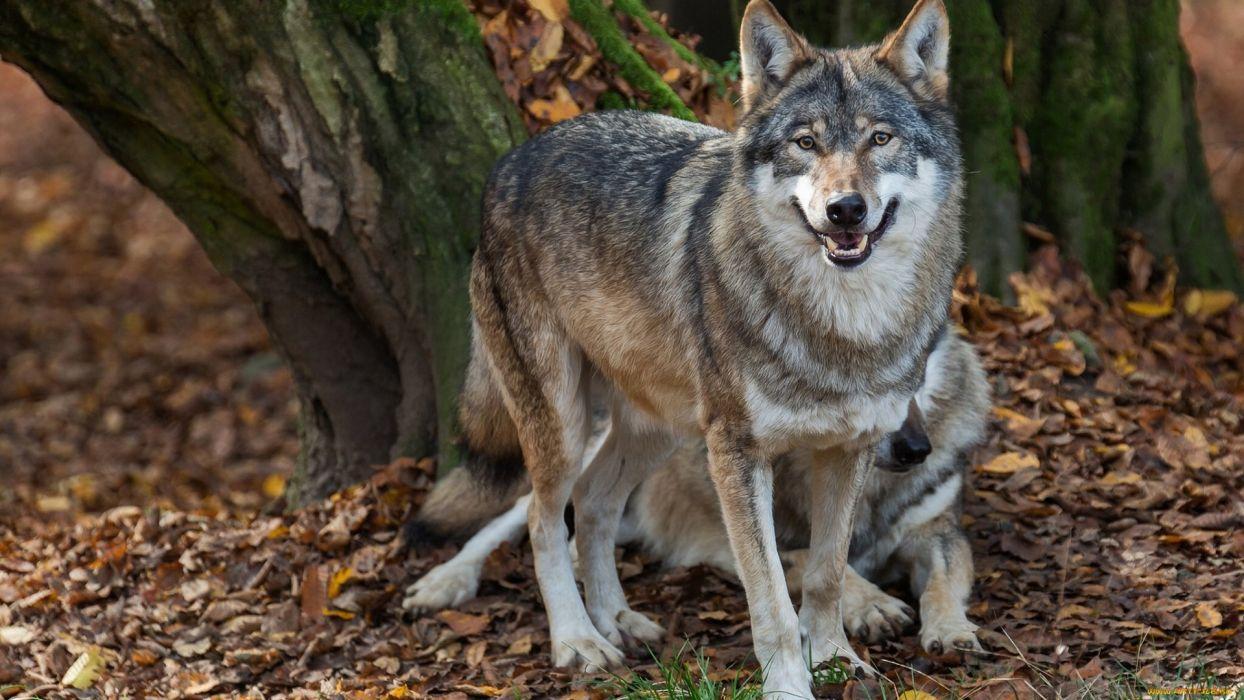 wolf animal wild wallpaper