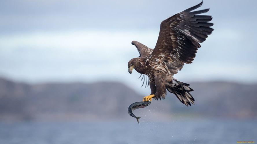 bird eagle animal wallpaper