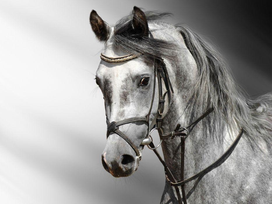 horse gray head wallpaper