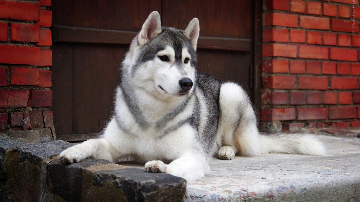 dog sweet animal hasky wallpaper