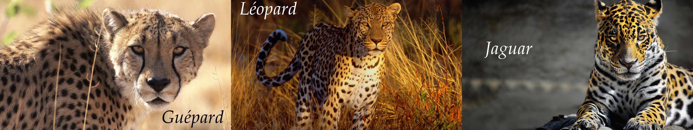 Léopard - Guépard - Jaguar wallpaper