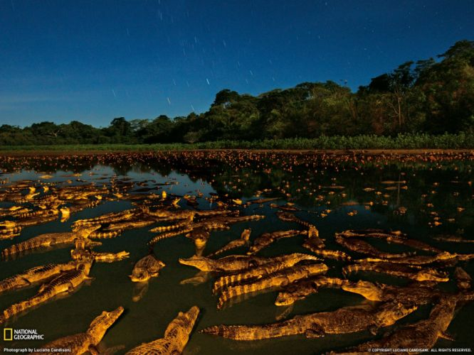 Caimans at Night Brazil wallpaper