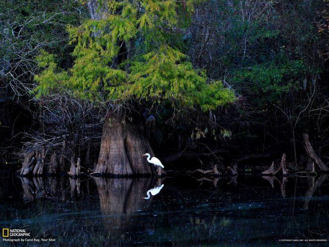Great egret Florida wallpaper