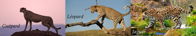 Leopard - Guepard - Jaguar wallpaper