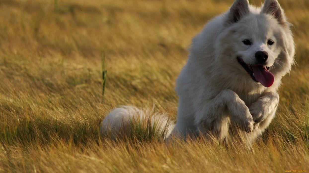 dog white run animal wallpaper