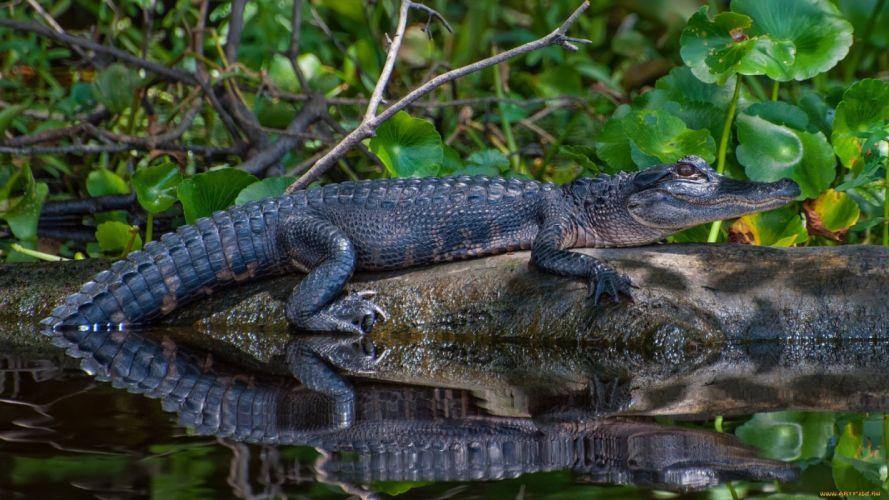 aligator animal reptil wallpaper