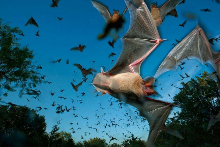 BATS mammal bat Chiroptera flock swarm wallpaper