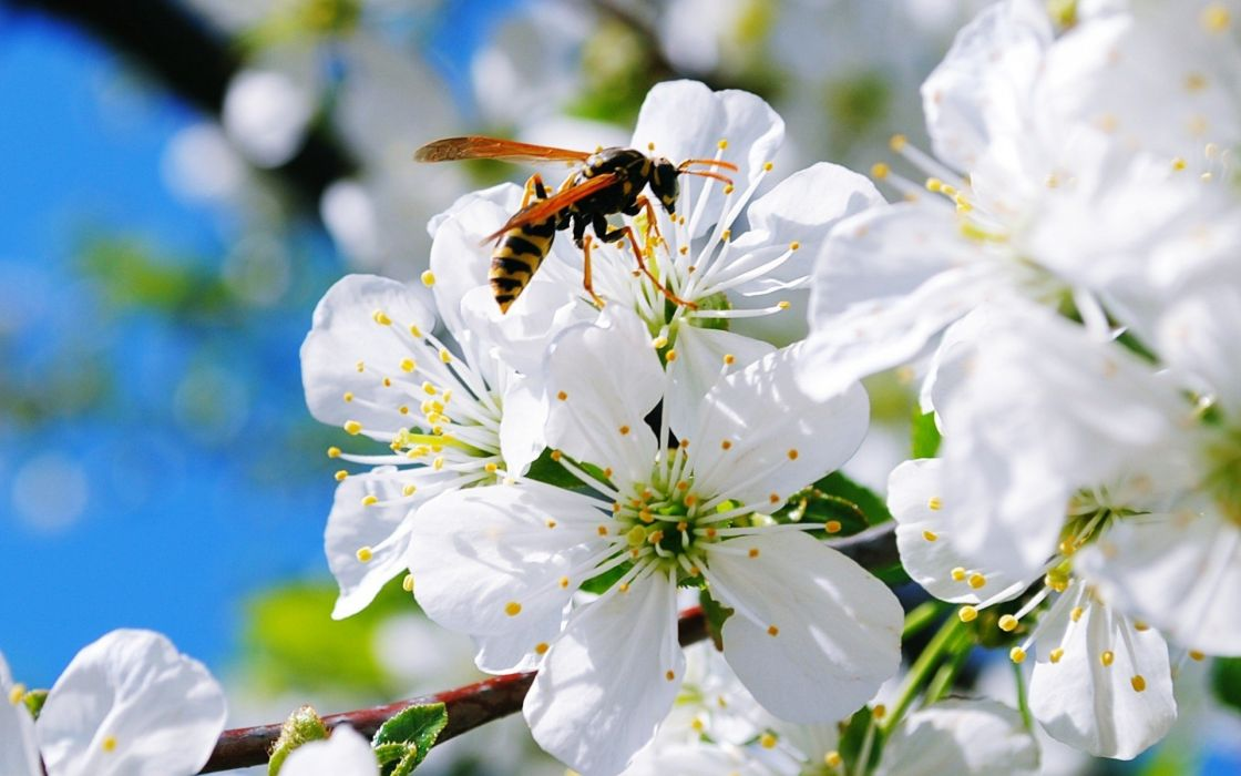 bee insect flower white wallpaper