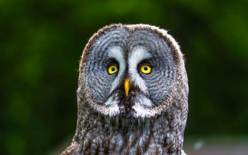 owl bird animal wallpaper