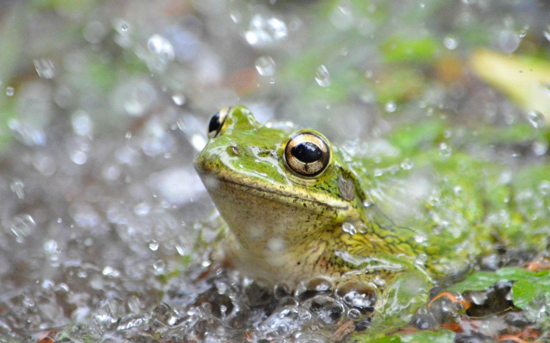 frog animal wallpaper