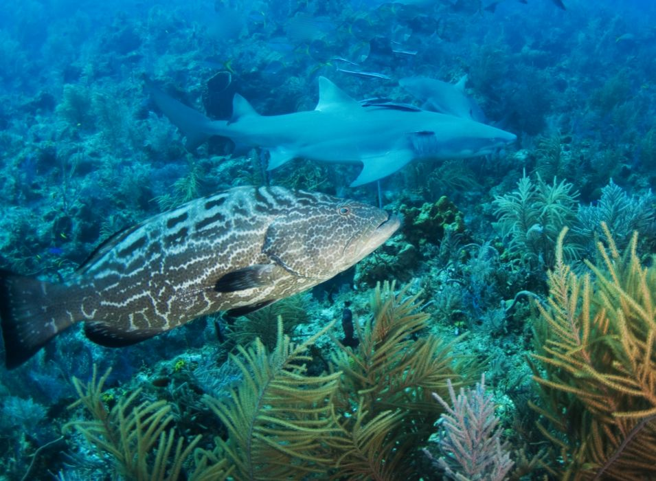 GROUPER ocean sea underwater sealife fish wallpaper