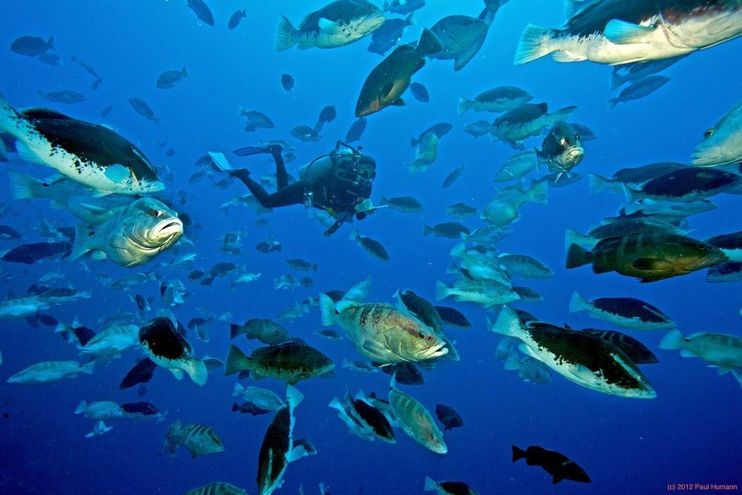 GROUPER ocean sea underwater sealife fish scuba diving wallpaper