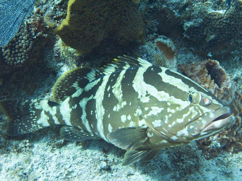 GROUPER ocean sea underwater sealife fish wallpaper