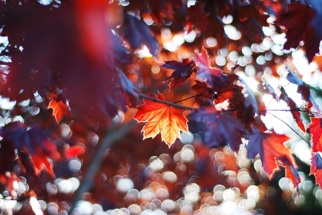 maple autumn forest tree leaves branch wallpaper