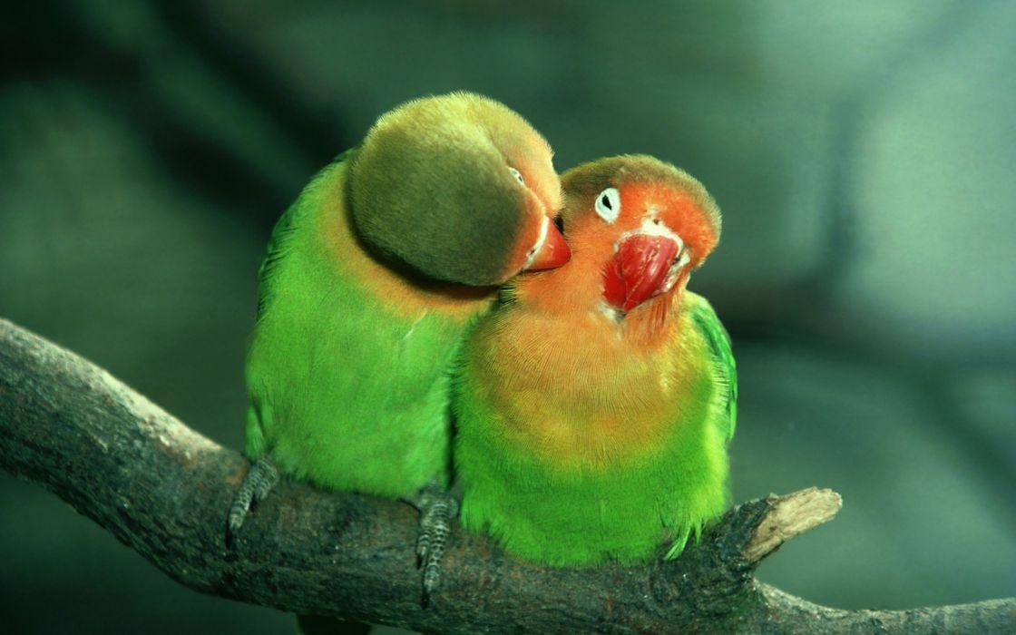 birds parrots love green wallpaper